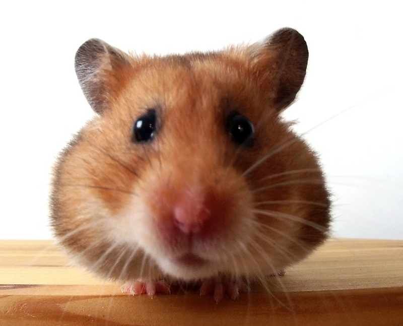 The Hamster Thread